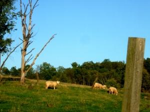 The lambs graze.