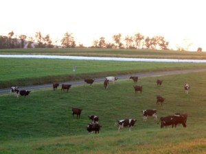 Cows graze at Spring Creek Farm.