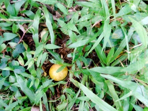 A passion fruit peaks out from under the grass.