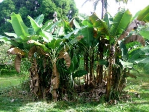 Here is the banana grove we cleaned up. The trees on the right have the brown leaves cut off and added to the base of the trees as mulch.