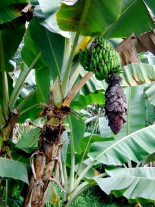 These bananas are not quite ready to be harvested.