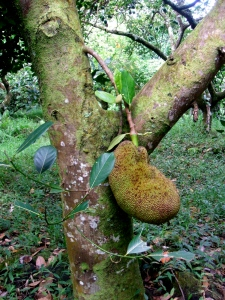 The jackfruit manages to hang on.