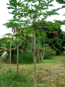 The papaya tree has a skinny trunk and the fruit grows in clusters where the trunk meets the limbs.