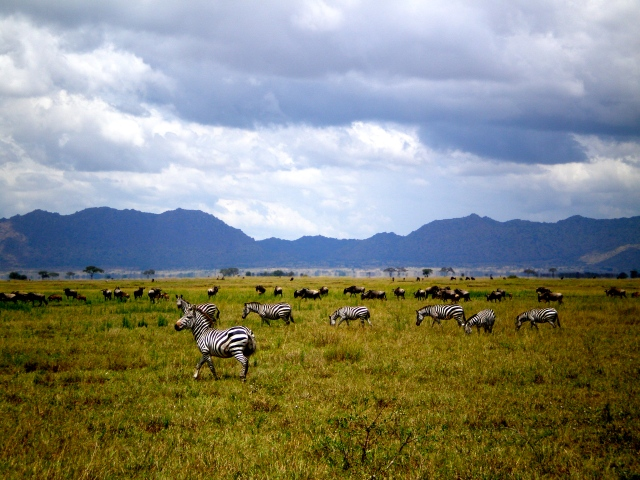 Zebras and wildebeests graze near the western entrance to the Serengeti.