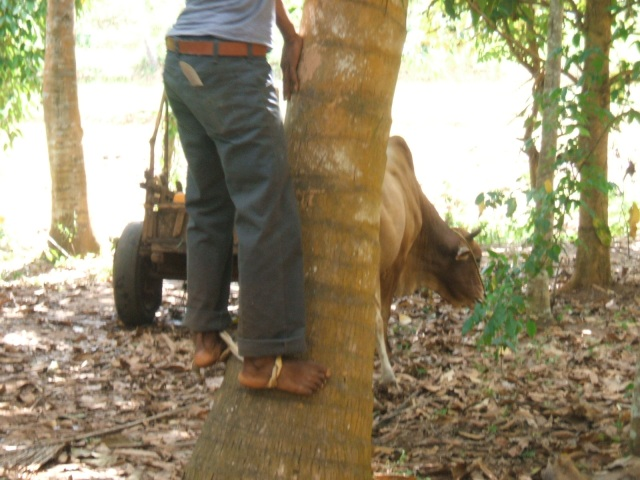 One of the tour helpers demonstrates how he climbs a palm tree using only ropes tied to his feet.